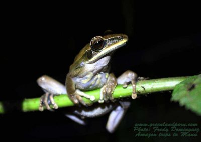 amazon-tree-frog-fredy-dominguez-green-land-peru-manu
