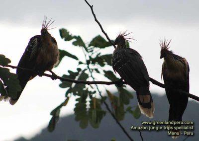 hoatzin-fredy-dominguez-manu-peru-green-land-peru