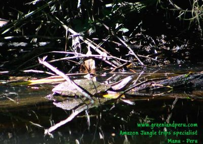 I-see-you,-matamata-turtle-fredy-Manu