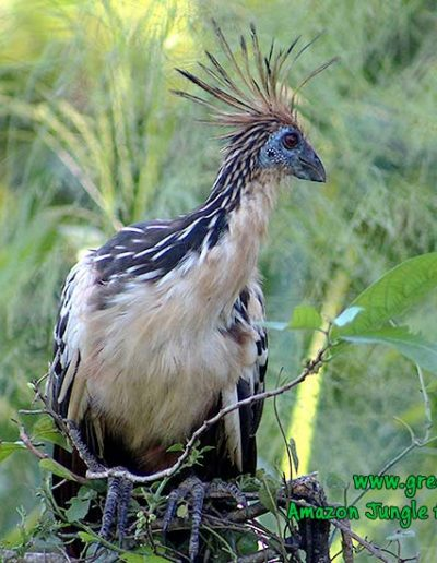 Ophistocomus-hoatzin-Manu-fredy