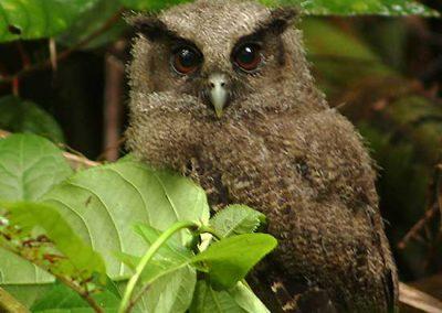 Tawny-bellied-screech-owl--baby-Manu-fredy