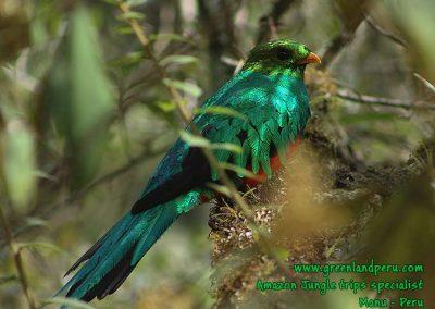 golden-headed-quetzal-Manu-fredy