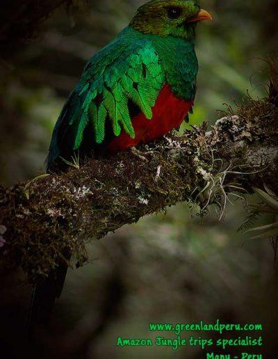 golden-headed-quetzal,-Manu-photo-de-Fredy