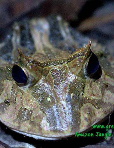 horned-frog-Manu-Fredy-Amazon