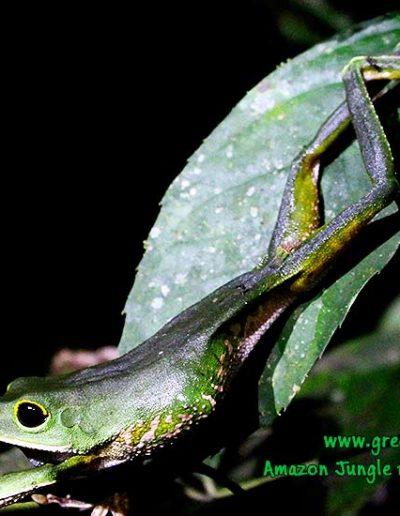 hyla-leaf-frog-Manu-Fredy