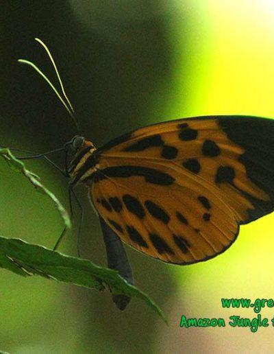 ithomiinae-butterfly-Manu-fredy