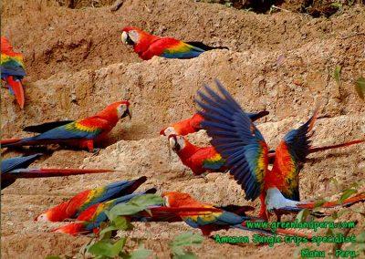 macaw-clay-lick-Manu-Fredy-Amazon