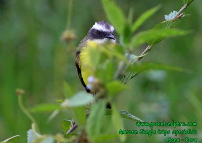 social-flycatcher-Manu-fredy