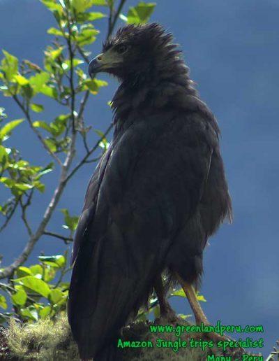 solitary-eagle-Manu-Fredy-Amazon