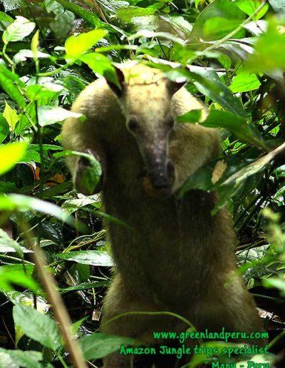 southern-tamandua-anteater-Manu-fredy