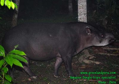 tapir-Manu-Fredy-Amazon