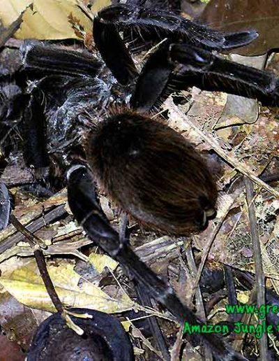 tarantula-Manu-Fredy