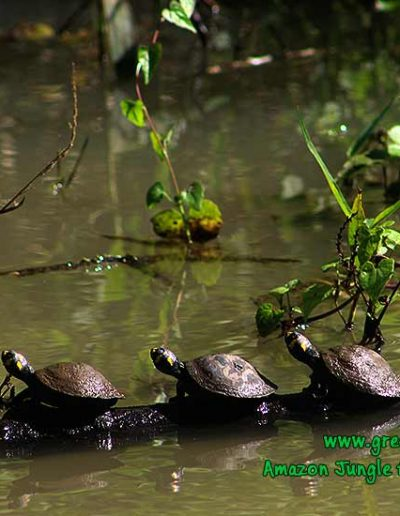yellow-spotted-river-turtle-Manu-fredy-Amazon